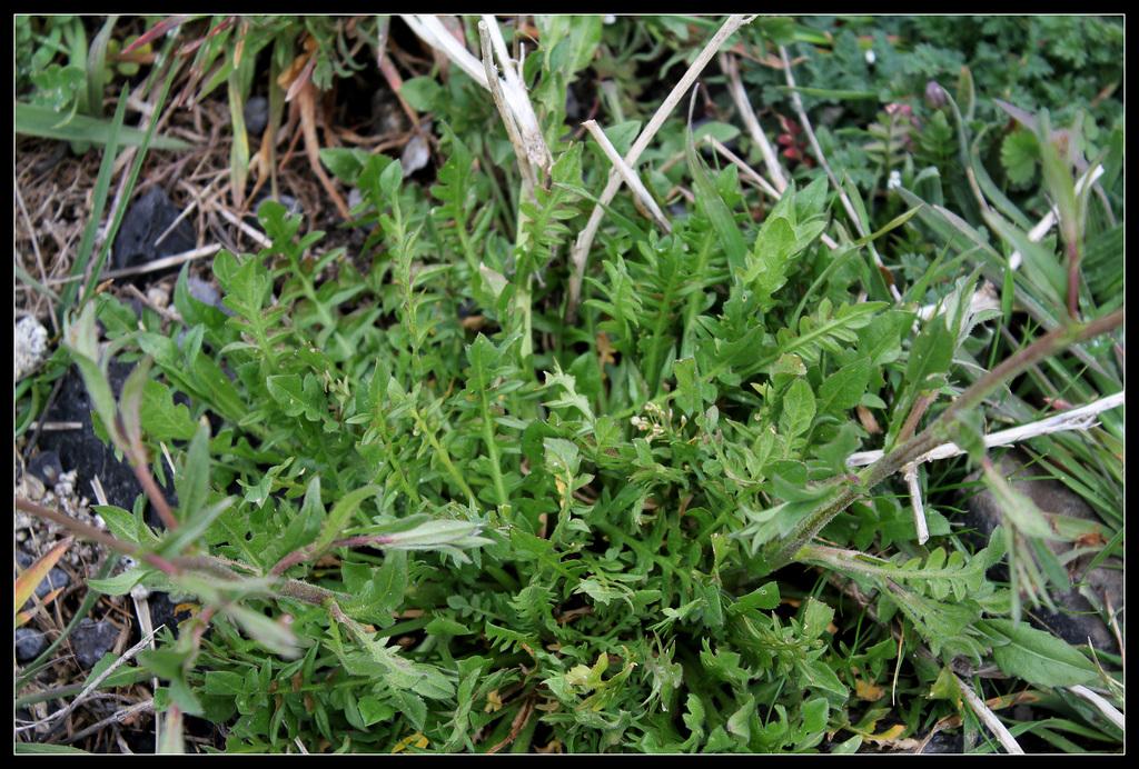 Capsella bursa-pastoris (1)