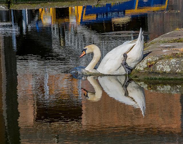 A swan at Ellesmere Port boat museum