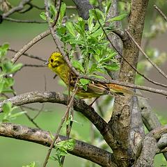 Bruant jaune dans son environnement