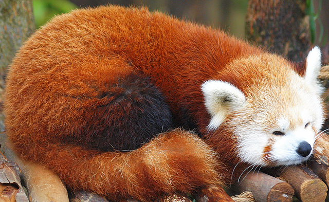 Red Panda at Zoo Atlanta