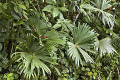 Fan-dango – Rainforest Adventures Costa Rica Pacific, near Jaco, Puntarenas Province, Costa Rica