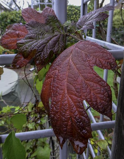 Autumn Hydrangea colour for HFF