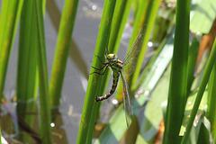 Libelle am Sulfner Weiher
