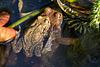 20150410 7626VRAw [D~RI] Erdkröte (Bufo bufo), Rinteln