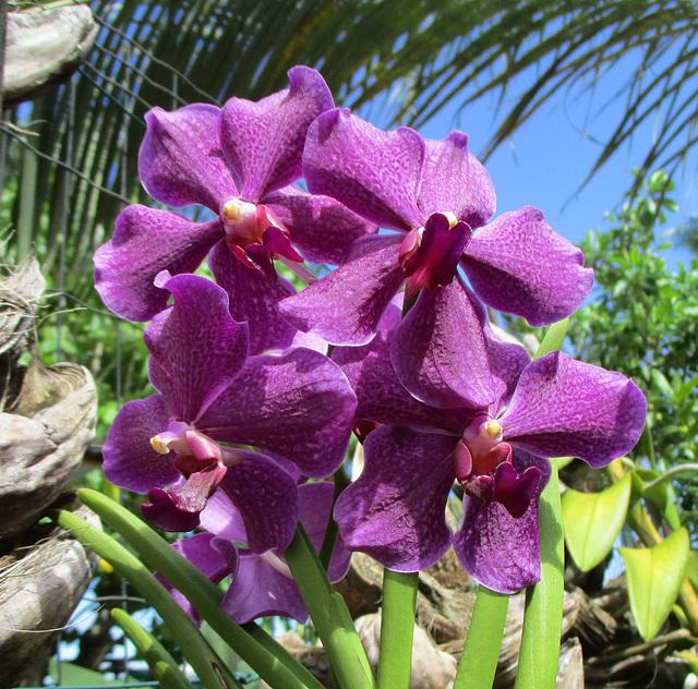 Quelques orchidées du jardin        IMG 2074