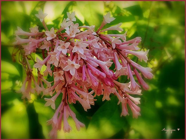 HFF/ et bon we à tous ! lilas microphylla  *