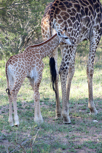 Baby Giraffe - Photo 2