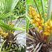 Zwergpalme (Chamaerops humilis) blooms. ©UdoSm