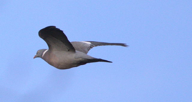 Pigeon EF7A0222