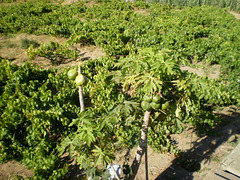 Breadfruit trees and vines.