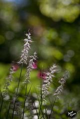 225/366: Sparkling Ornamental Grass