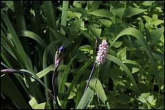 Bistorte en compagnie de Iris robusta (2)
