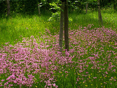 Real  cuckoo flower