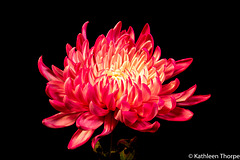 Chrysanthemum 052119