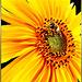 Hover fly visits Sunflower. ©UdoSm