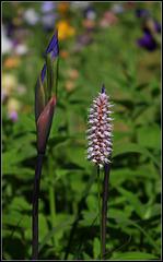 Bistorte en compagnie de Iris robusta