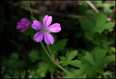 Geranium x endressii (2)