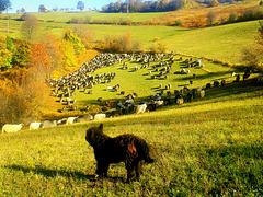 Six hundred sheeps, shepherd's dogs, donkeys ...