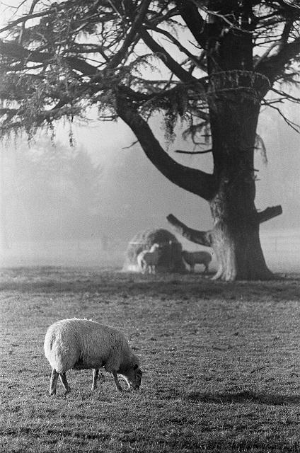 Sheep at Lamer Park