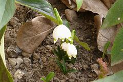 Der erste Märzenbecher - la unua martofloro