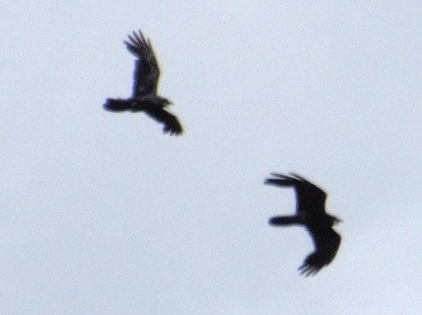 Ravens Out Of Range