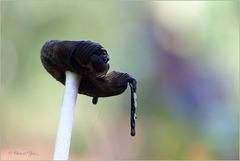 Magpie Inkcap ~ Spechtinktzwam (Coprinopsis picacea) at his end...