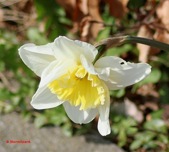 Daffodil at the roadside 01 A02
