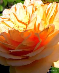 Sun on Rose Petals.