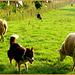 I 'am looking forward to sheep......