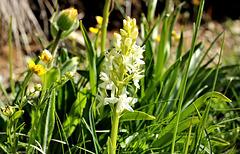 Zweiblättrige Waldhyanzynthe (Plantanthera)