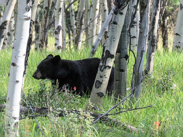 Black Bear, Kananaskis