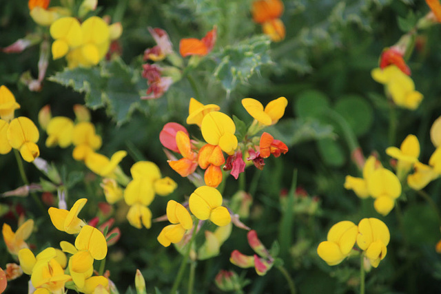 Common Bird's foot trefoil - Denton - Sussex original - 15.6.2015