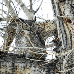 One of yesterday's Great Horned Owls