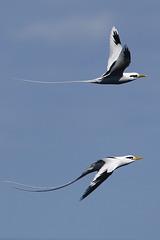 phaéthons à brins blancs en vol synchro