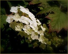 Hortensia à feuilles de chêne ..........Bon dimanche !