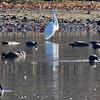 Great egret among ducks