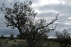 Olive tree, Rainpraying