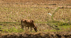 Grazing in paddy fields near Pai
