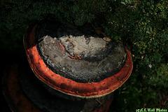Bicolor Bracket Fungus