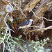 unidentified Prom pigeon