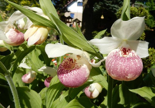 01 Gartenorchideen