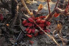 Pyrrhocoris apterus