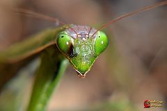 Mantis religiosa  (on explore)