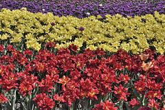 Tricolour – Canadian Tulip Festival, Dow's Lake, Ottawa, Ontario, Canada