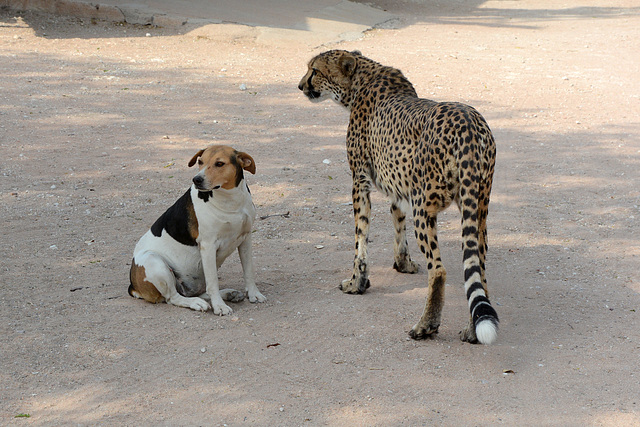 Namibia, The Cheetah and the Dog in the Otjitotongwe Guest Farm