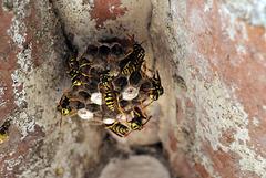 Wasps under roof eaves, Polistes dominula ?