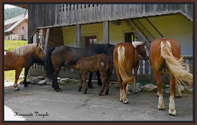 Noriker Pferde  auf der Dellacher Alm