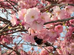 BELFORT: Fleurs de cerisiers 04