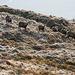 le Hohneck : surprendre les chamois