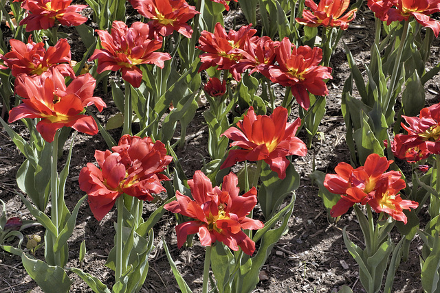 Seeing Red – Canadian Tulip Festival, Dow's Lake, Ottawa, Ontario, Canada
